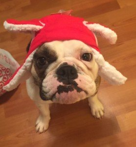 Bianca the English Bulldog is a therapy dog in training